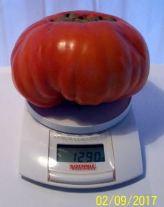 PRIMUSONA-Tomate 2017