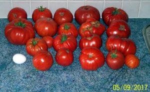 Teil der Tomatenernte 2017